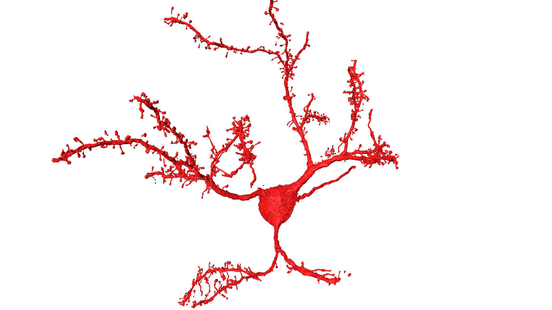 Nervenzellen aus der Hirnrinde einer Maus.